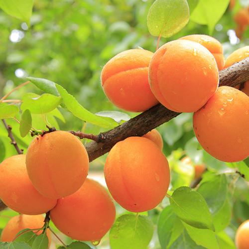 albaricoques mirlo naranja - snature