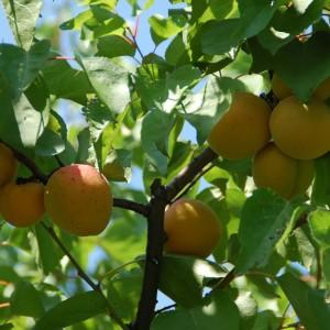 frutas de hueso -snature