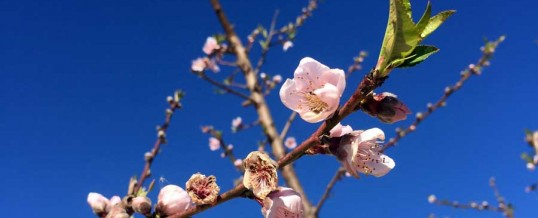 Se adelanta la floración de la nectarina